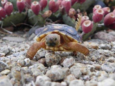 sunbuggy_desert_tortoise